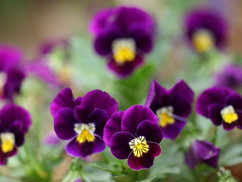 一足早く春を感じよう!今が植えどきの春の草花