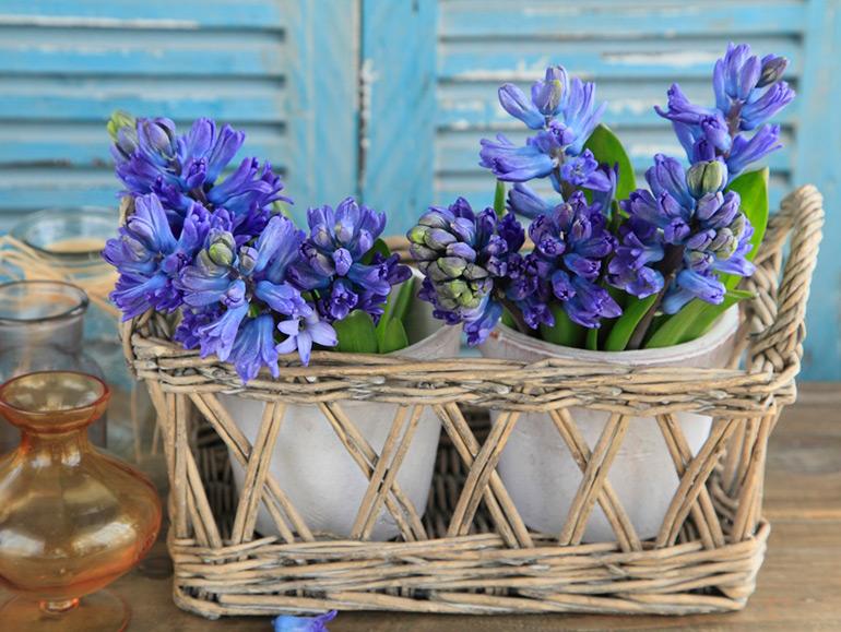 新年の贈りものにおすすめ!春の香り「ヒアシンス」のフラワーギフト